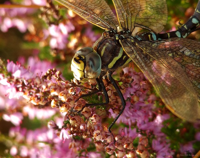 Dragonflys mating longshaw peak district 2017 (2)