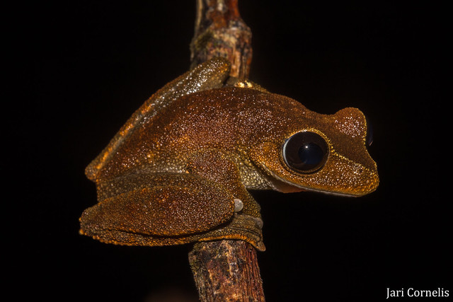 Australian Lace-lid Frog (Litoria dayi)