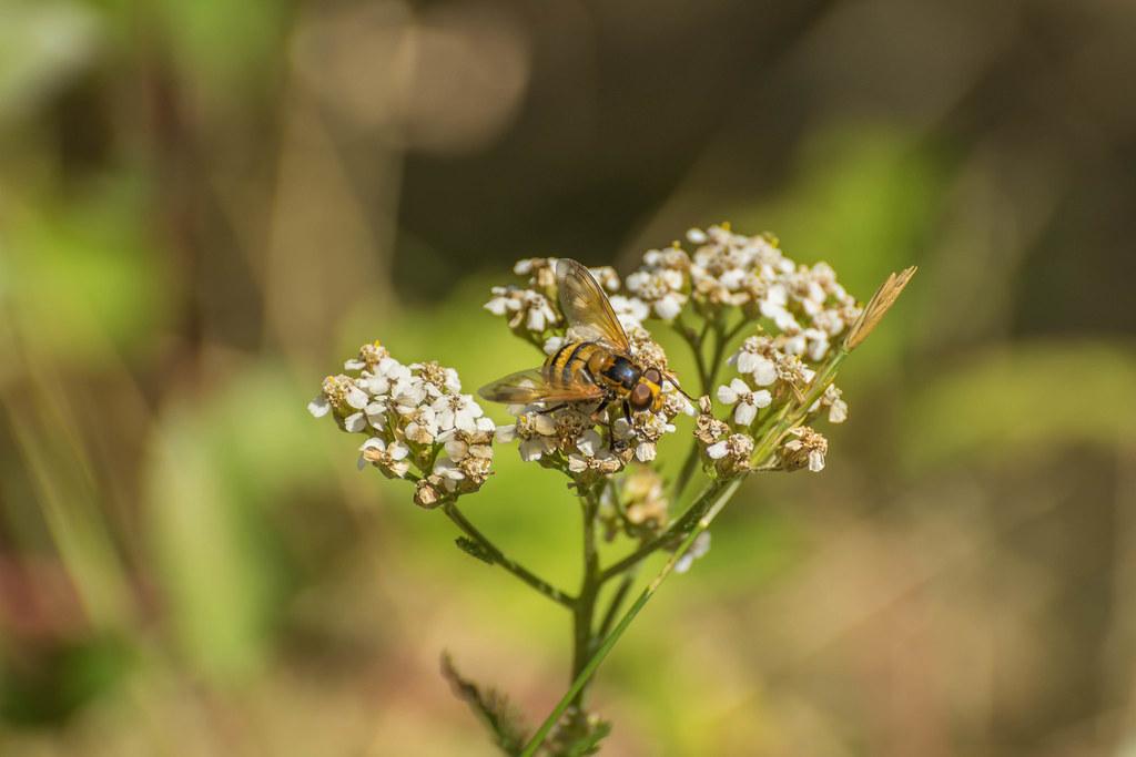 Episyrphus balteatus - mosca avispa - Syrphidae