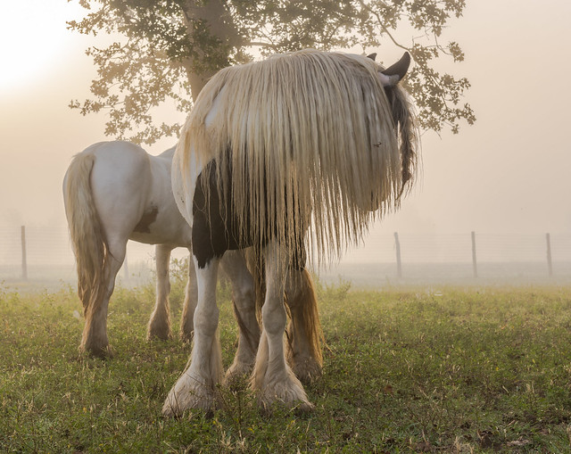 Gypsy Cob Horse with Shaggy Mane at Sunrise