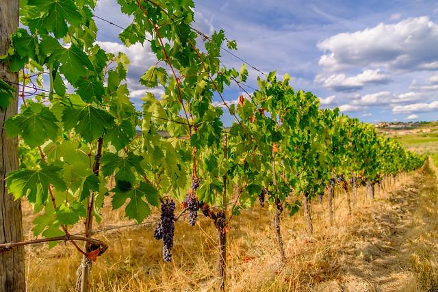Vineyards along the roadside [in explore]