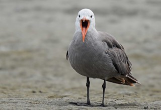 Heermann's Gull (Larus heermanni) | by Adam Dhalla