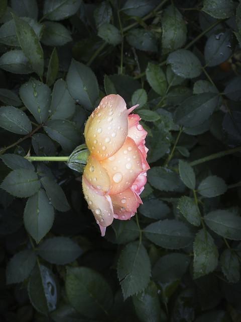 iPhone Tulip