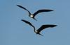 Ave fragata magnifica, Tijereta, Magnificent frigatebird, Fregata magnificens. Zorritos, Tumbes, Peru. by Jaime Chang
