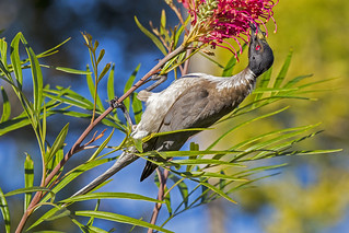 Noisy Friarbird feeding on Grevillea nectar (6) | by bidkev1 and son (see profile)