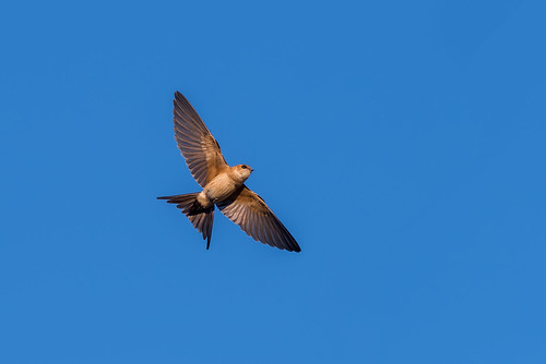 House Martin (Delichon urbicum) | by www.craigrogers.photography