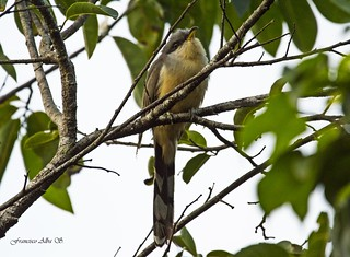 Pajaro bobo menor. Mangrove cuckoo (Coccyzus minor) | by Francisco Alba Suriel