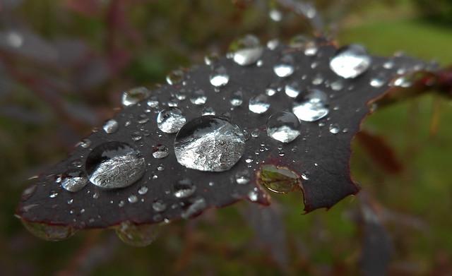 Brilliants on the Leaves (01)