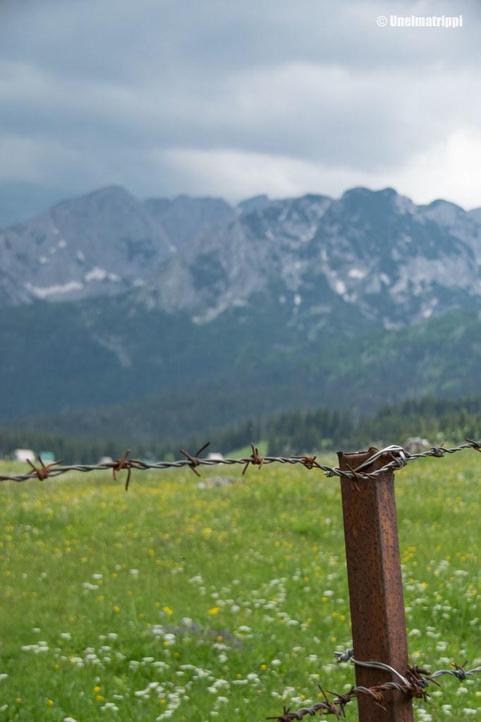 Lehmien piikkilanka-aitaus kansallispuistossa