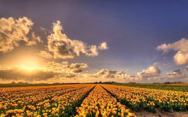 Field of golden tulips.