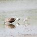 コアオアシシギ(Marsh Sandpiper)