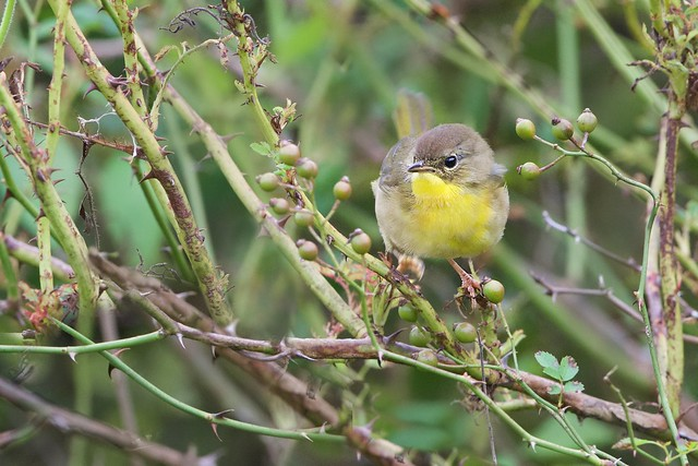 Yellowthroat in the Berries
