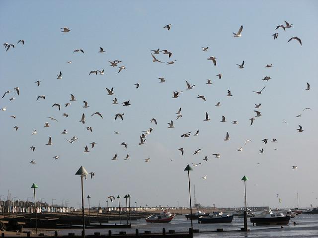 Seagulls at Thorpe Bay