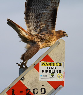 Red-tailed Hawk - Buteo jamaicensis | by Engilis Photos