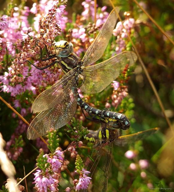 mating dragon flys