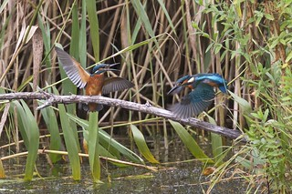 A pair of  juvenile kingfishers