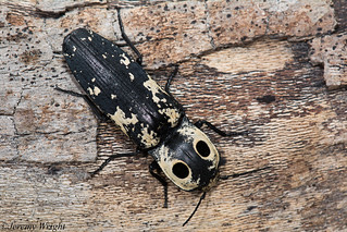 Eyed Click Beetle | by Jeremy Wright Photography