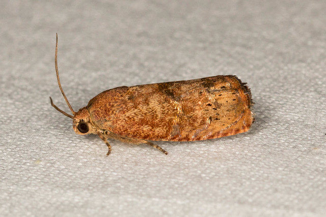 Filbertworm Moth - Cydia latiferreana