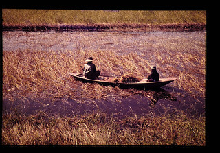 Harvesting Of Floating Rice = 浮稲の収穫