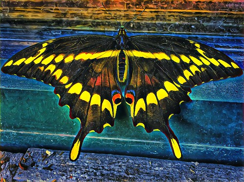 iphone 6s iphoneography lake placid starbuck window sill outside onasill restaurant newyork state ffranklincounty butterfly colour yellow black coffee adirondack mountains vacation nrhp register exotic giant swallowtail striking beautiful downtown travel site attraction trekking boating adult visitors landscape hdr gardens caterpillar foliage great lakes holidays insect winter olympics 1980
