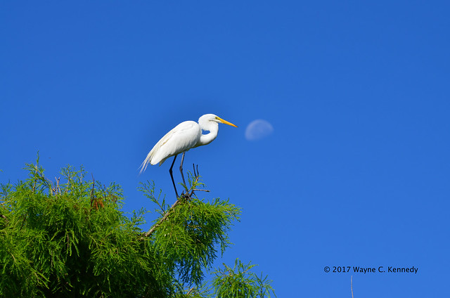 Great Egret on tree top with moon