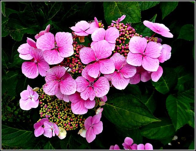 Hydrangea Plant ..