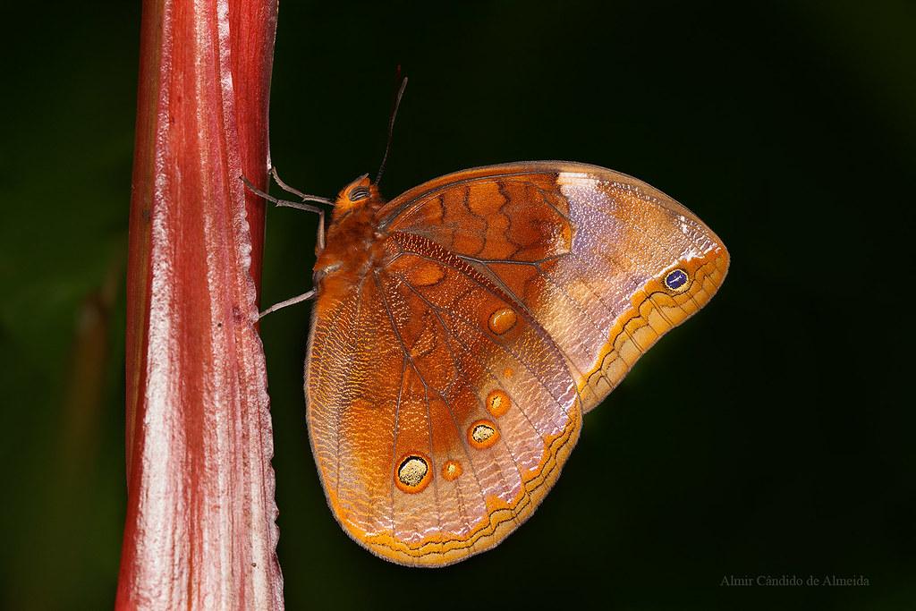 Butterfly Catoblepia berecynthia