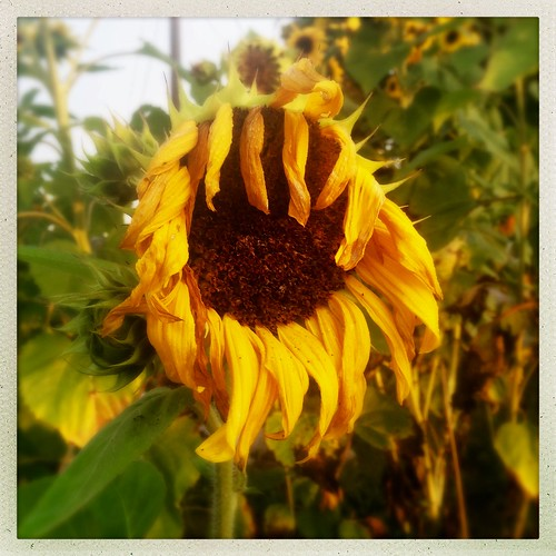 sunrise iphone app hipstamatic nh boscawen sunflower droopy sagging wilted newengland