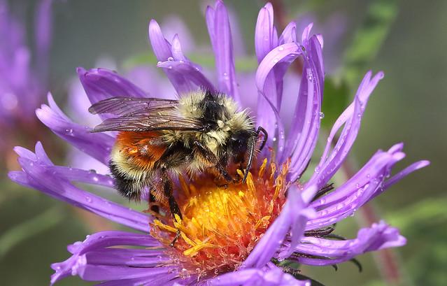 Tri-colored Bee