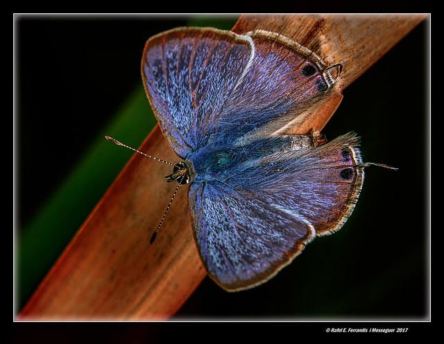 Cuetes de taques taronja (Cupido argiades) Short-tailed Blue (Els Ullals de Baldoví, Sueca, la Ribera Baixa, València, Spain)