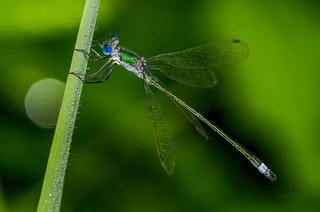 emerald damselfly or common spreadwing - Obvodna zverca 3
