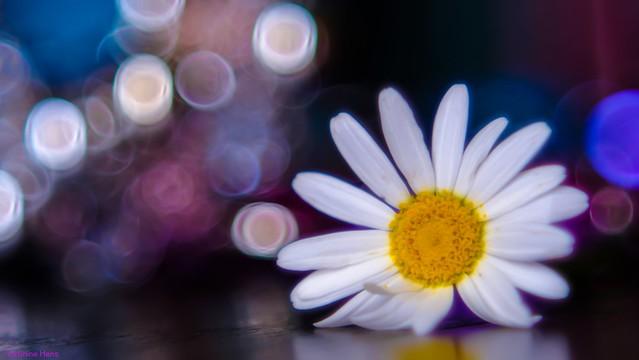 daisy - 3549