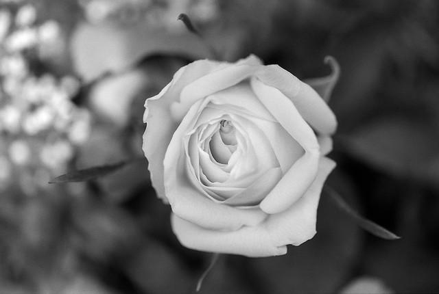 FILM - White rose