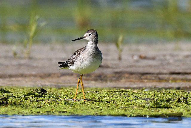 Petit chevalier --- Lesser yellowlegs --- Pitotoy chico