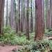 Jedediah Smith Redwoods State Park, California by Alexandra's Astronomy