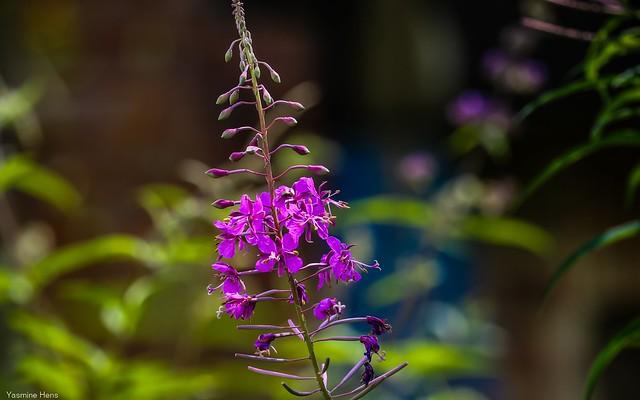 Purple - 3480