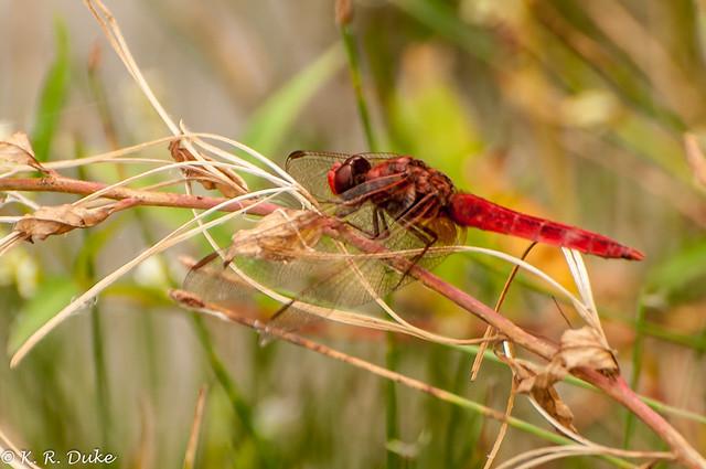 Broard Scarlet_Crocothemis erythraea-Feuerlibelle (Explored)