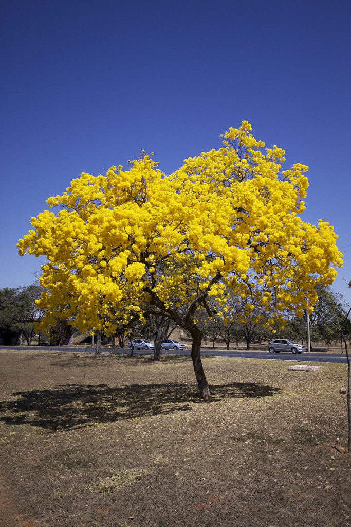 Série com o Ipê-amarelo em Brasília, Brasil - Series with the Trumpet tree, Golden Trumpet Tree, Pau D'arco or Tabebuia in Brasília, Brazil - 20-08-2017 – IMG_7559