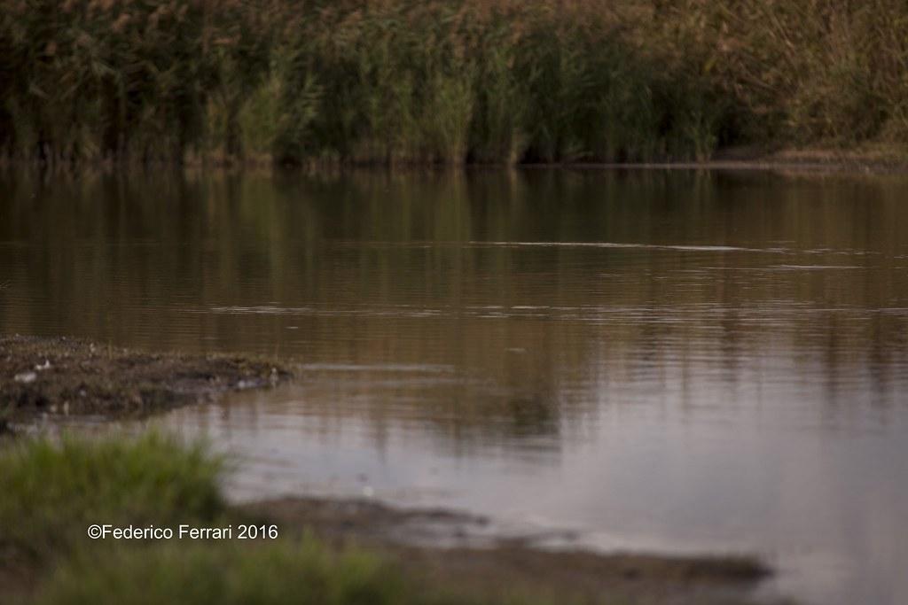 18 torre flavia riva pelo dell'acqua cannuccia di palude (Phragmites australis)