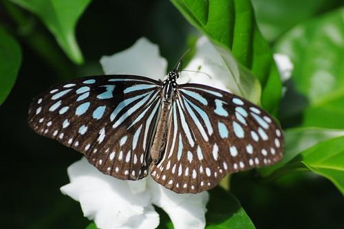 Ceylon Blue Glassy Tiger   by kuribo