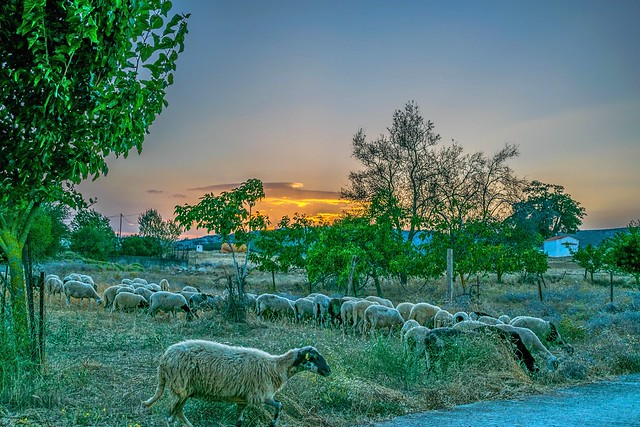 Sheeps without Leader!!!...Typical Greek Countryside  Landscape.