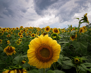 Field of sunflowers | by Ed Rosack