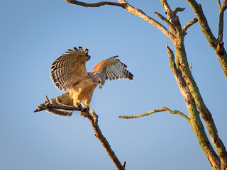 Red Shouldered Hawk with Field Mouse | by Ed Rosack
