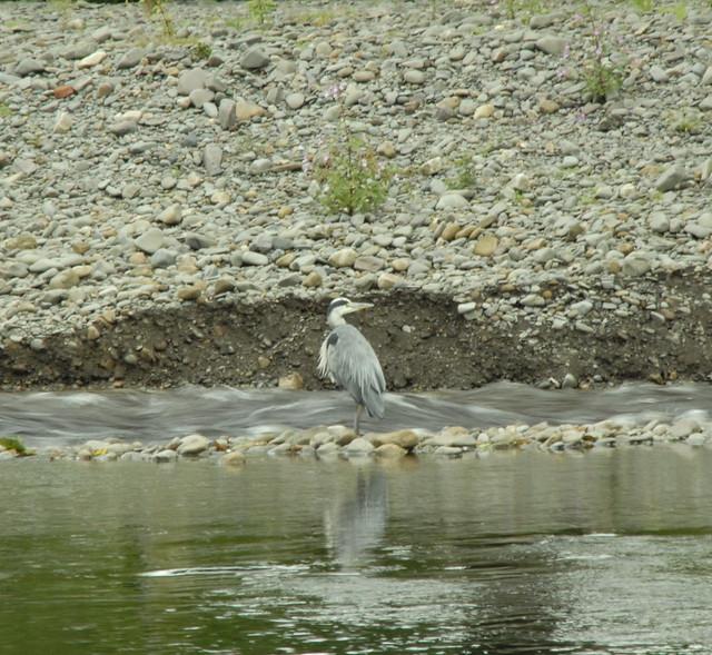 The Great Blue Heron.   ( Ardea herodias )