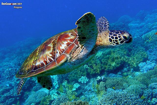 Green sea turtle, Chelonia mydas, Apo Island, Philippines