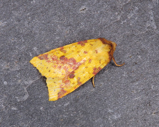 73.181 Pink-barred Sallow - Xanthia togata | by erdragonfly