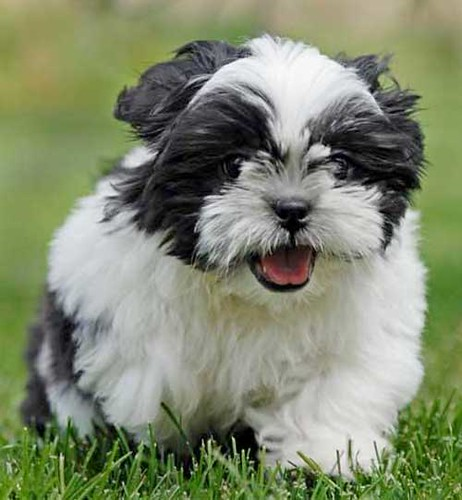 Small Dog Breeds That Don T Shed Via Pets Gallery Blog Bit Flickr