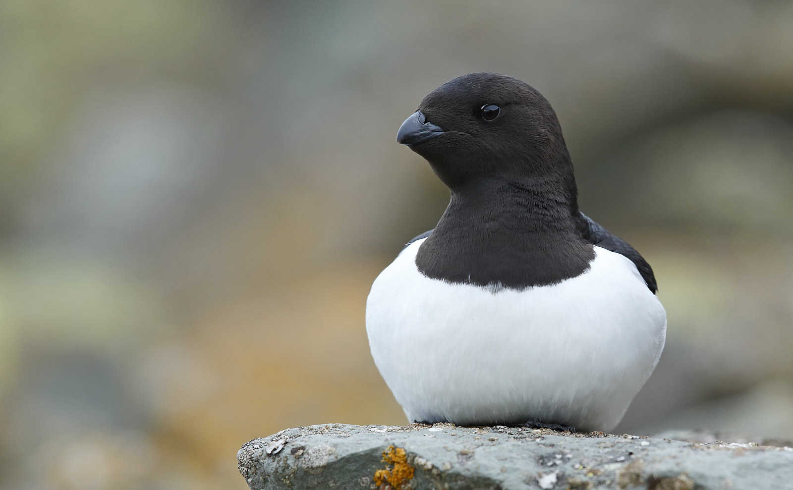 Little Auk