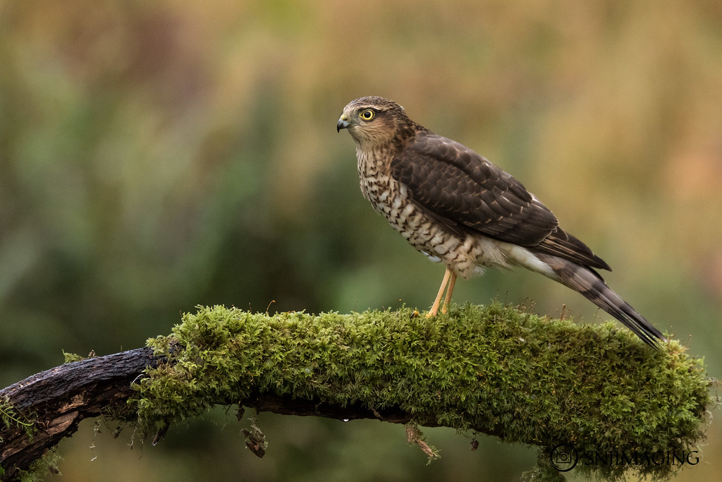 Male Sparrowhawk (juv)