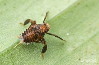 Planthopper nymph (Lophopidae) - DSC_7935